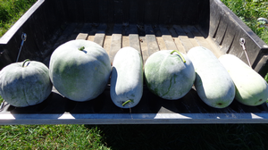 Winter melons: A new crop for Michigan growers