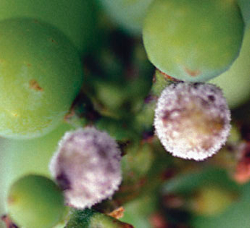 White spore masses develop on infected berries.