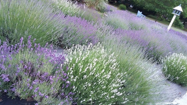 Growing lavender in Michigan: Advice for a purple garden