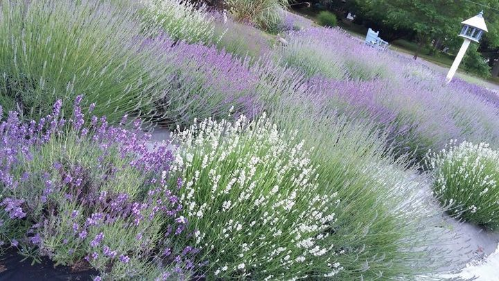 Growing Lavender In Michigan Advice For A Purple Garden