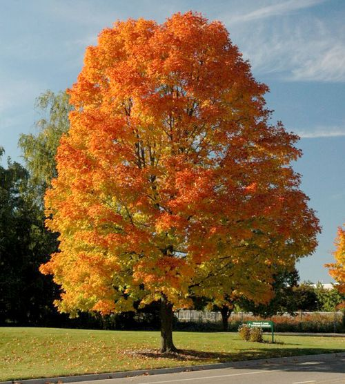 Sugar maple. Photo by Bert Cregg, MSU.