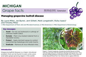 Michigan Grape Facts: Managing Grapevine Leafroll Disease