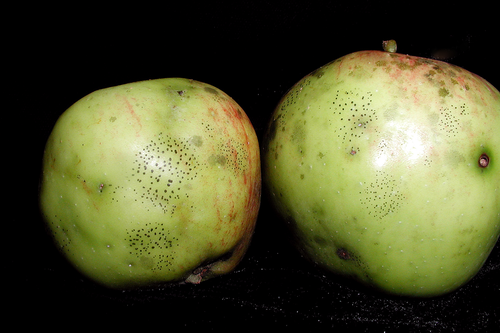 Flyspeck colonies appear as distinct groupings of shiny, black fungal bodies on the fruit surface.