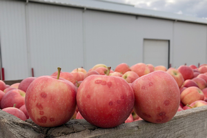 Grand Rapids area apple maturity report – Sept. 12, 2018