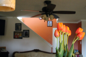 Forcing spring bulbs to bloom indoors