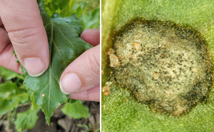 Cercospora leaf spot management topic of next Field Crops Virtual Breakfast