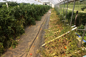 East Michigan vegetable update – Aug. 19, 2020