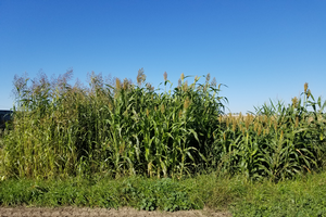 Sudangrass, sudex and dwarf sorghum from left to right