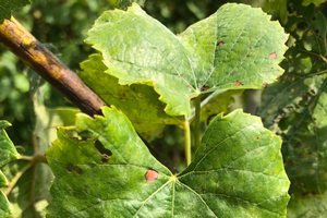 Powdery mildew fungicide resistance survey in grapes – help us, help you!