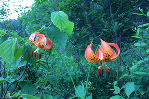 Native Lily. Photo credit: Anna Kornoelje