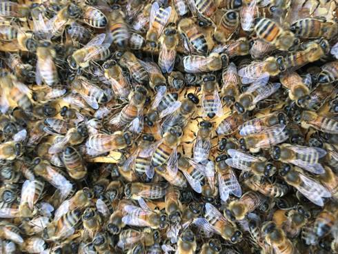 Photo of honey bees in a beehive.
