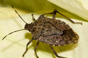 Managing brown marmorated stink bugs in homes
