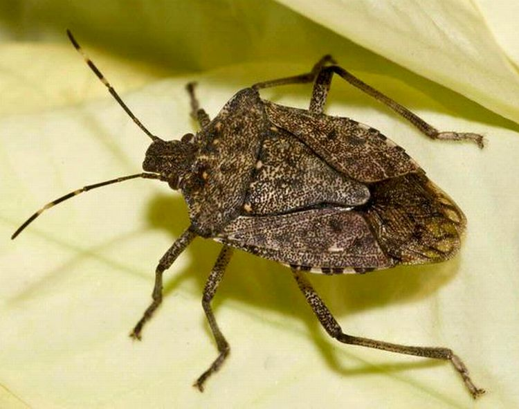 A brown marmorated stink bug. Note the white bands on the antennae. Photo credit: Susan Ellis, Bugwood.org