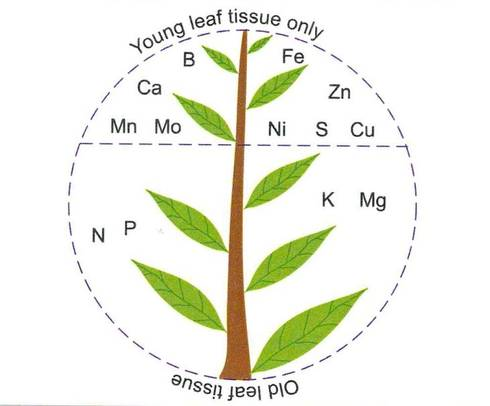 Generalized diagram showing the portion of the plant where nutrient deficiency symptoms are first observed. Courtesy of the 4R Plant Nutrition Manual, IPNI 2012.