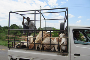 Goats transportation