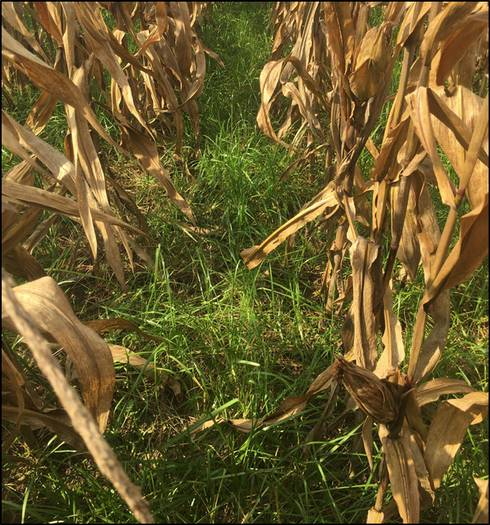 Ryegrass interseeded in standing corn