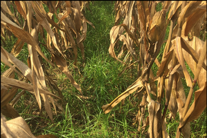 Cover crops in Michigan - Interseeding cover crops
