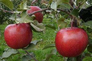Southwest Michigan apple maturity report – Oct. 14, 2020
