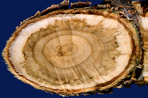 A cross-section of an infected limb shows darkened wood from wood-rotting fungi.