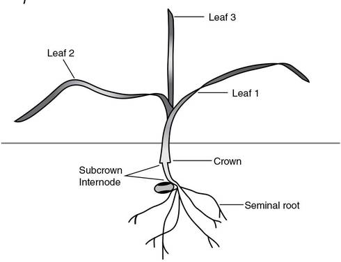 "Winter wheat at the three leaf stage. Note the crown development. Source: University of Saskatchewan, 2002, from ""Winter Wheat Production Manual."""