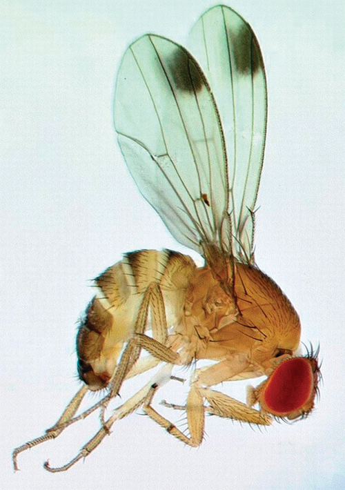 Spotted wing Drosophila male with the characteristic spot on each wing.