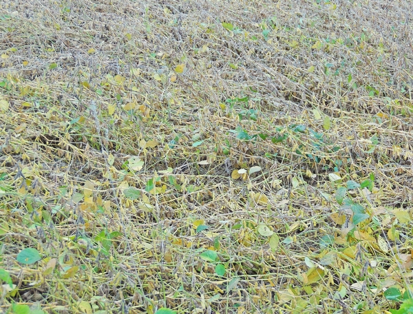 Badly lodged soybean field