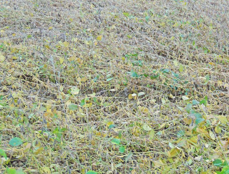 Badly lodged soybean field