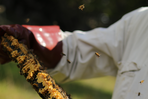 Person tending to bees.