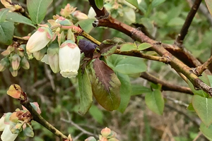 Blueberry growers need to focus on Anthracnose fruit rot as bloom ends