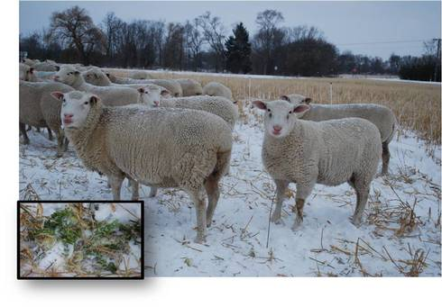 sheep grazing brassica and oats in December