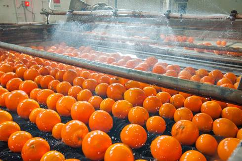 Oranges in a produce processing plant.