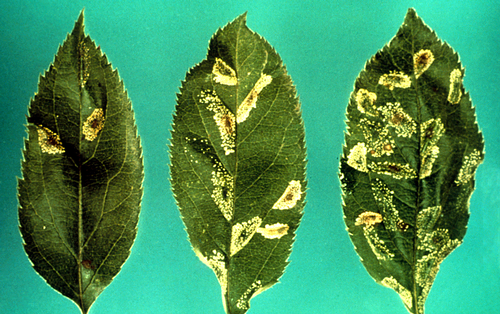 The last two instars feed more on the leaf tissues, creating mines that appear as clear, blotchy swellings on the upper leaf surface and gray on the underside.