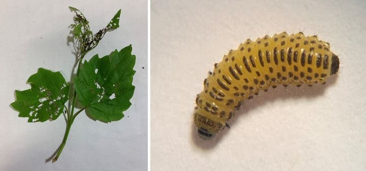 viburnum leaf beetle larvae and damage