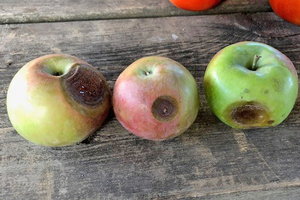 Southwest Michigan apple maturity report – Sept. 12, 2018