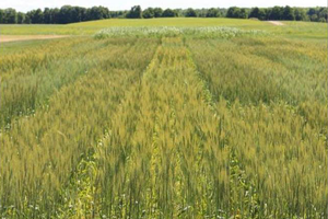 Spring wheat variety and agronomy trials