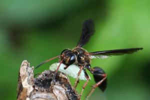 Photo: Grass-carrying wasp (Isodontia exonata) with a prey item to provision a nest. Photo by Johnny N. Dell, Bugwood.org.