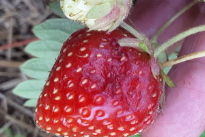 West central Michigan small fruit report – July 14, 2020