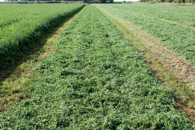 Alfalfa wide swath at 75 percent of cutting width. Photo by Phil Kaatz, MSU Extension.