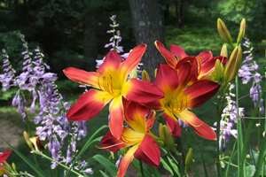 Daylilies are a smart choice for many difficult garden locations
