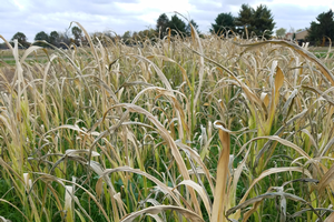 Frosted sorghum and sudangrass pasture poses prussic acid poisoning risk
