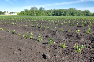 East Michigan vegetable update – June 10, 2020