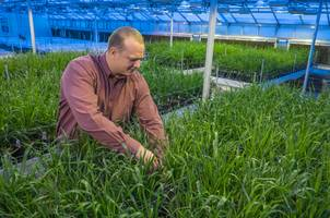 Eric Olson is a member of the Wheat Breeding and Genetics Program at MSU developing wheat varieties