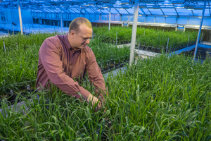 Combating disease for Michigan's wheat industry
