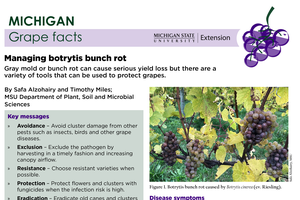 Michigan Grape Facts: Managing Botrytis Bunch Rot