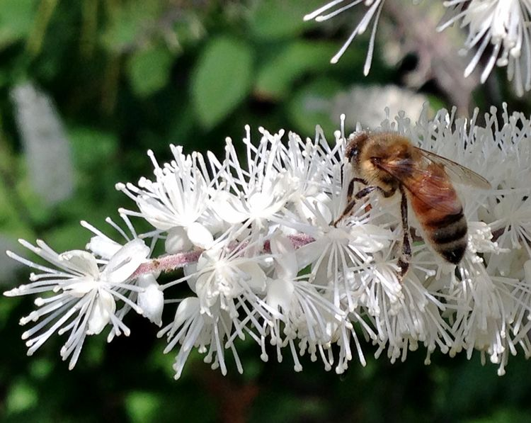 Bee on snakeroot. All photos by Rebecca Finneran, MSU Extension