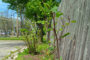 Japanese knotweed, shown here is an example of an invasive species that could be addressed by local governments. It poses a threat to property because it can break damage foundations.
