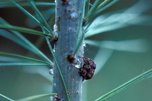 Control white pine weevil in early spring
