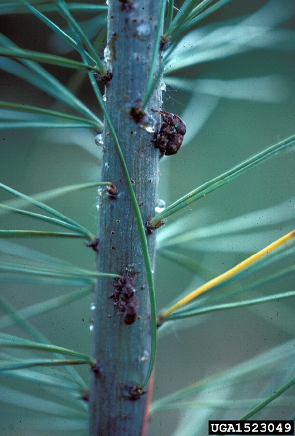 White pine weevil adults. Photo by Dan Herms.