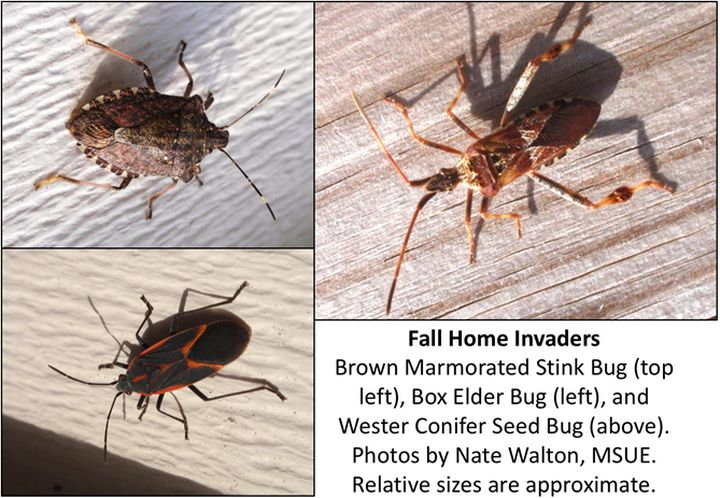 BMSB, boxelder bug and western conifer seed bug