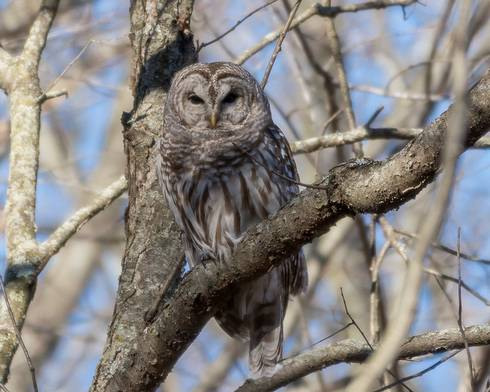 A barred owl is seen sitting in a tree.